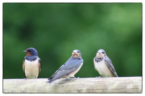 Swallows plus adult