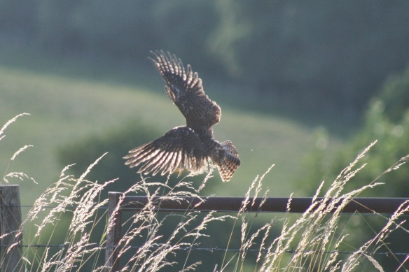 kestrel fly